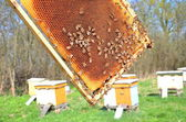 Bees on honeycomb in apiary in the springtime — Stok fotoğraf