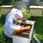 ilkbaharda kendi arı kovanı içinde çalışan deneyimli üst düzey arıcı — Stok fotoğraf