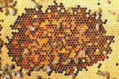 Hardworking bees on honeycomb — Stockfoto