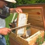 Arı kovanı içinde çalışan deneyimli üst düzey arıcı — Stok fotoğraf