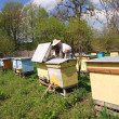 Experienced senior beekeeper working in apiary - Foto Stock
