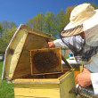 Experienced senior beekeeper working in apiary — Stockfoto