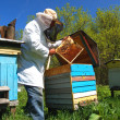 Experienced senior beekeeper working in apiary — Stok fotoğraf