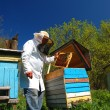 Experienced senior beekeeper working in apiary — Stock Photo