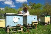 Experienced senior beekeeper working in apiary — Stock Photo