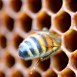 Stock Photo: Bee on honeycomb eating honey