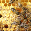 Closeup of bees on honeycomb — Stock Photo