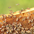 Bees on honeycomb — Foto de Stock