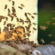 Plenty of bees at the entrance of beehive in apiary — Stock Photo
