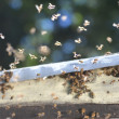 A swarm of bees trying to get into a beehive through a vent — Stock Photo