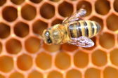 Closeup of a bee on honeycomb — Stock Photo