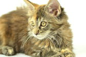 Portrait of beautiful young 4 month old maine coon cat — Stock Photo