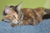 Portrait of beautiful young maine coon cat — Stock Photo