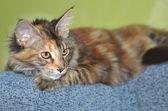 美しい若いメインクーン猫ネコの肖像画 — ストック写真