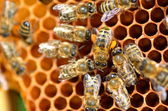 Bees on honeycomb — Stockfoto