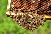 Bees on honeycomb — Stockfoto