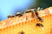 Bees on honeycomb — Stock Photo