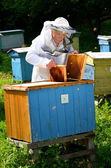 Experienced senior beekeeper making inspection in apiary — Stok fotoğraf