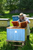 Experienced senior beekeeper making inspection in apiary — Stock Photo