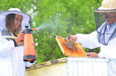 Two beekeepers making inspection in apiary in the springtime — Foto Stock