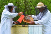 Two beekeepers making inspection in apiary in the springtime — Stock fotografie