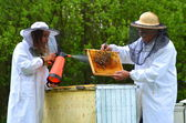 Two beekeepers making inspection in apiary in the springtime — Zdjęcie stockowe