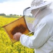 Постер, плакат: Experienced senior apiarist working in the blooming rapeseed field