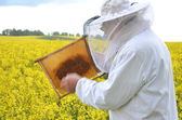 Experienced senior apiarist working in the blooming rapeseed field — Foto de Stock