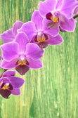 Beautiful pink orchids against wooden background — Stock Photo