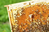 Queen bees cell and plenty of bees on honeycomb — Stock Photo