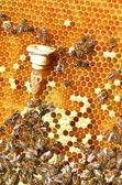 Célula de abejas reina y un montón de abejas en panal — Foto de Stock