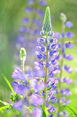 Beautiful lupine flowers on a meadow — Stock Photo