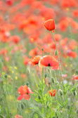 Delicate poppy seed flowers on a field — Stock Photo