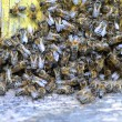 A swarm  of bees at the entrance of beehive in apiary in the summertime — Stock Photo #50625111