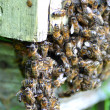 A swarm of bees at the entrance of beehive in apiary in the summertime — Stock Photo #50625117