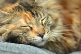 Sweet young maine coon cat while sleeping — Stock Photo