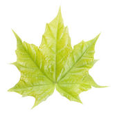 Green maple leaf isolated on white — Stock Photo