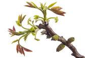 Walnut twig at spring — Stock Photo