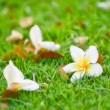 White frangipani on gren grass — Stock Photo