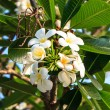 White frangipani on tree in garden — Stock Photo