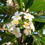 White frangipani on tree in garden — Stock Photo