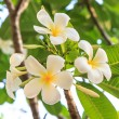 Stock Photo: Group of white frangipani on tree
