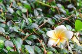 White frangipan on leaf — Stock Photo