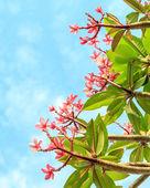 Pink frangipani in blue sky frame — Stock Photo