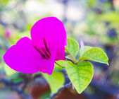 Violet paper flower,Bougainwillea — Stock Photo