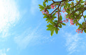 Pink frangipani in blue sky — Stock Photo