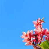 Pink frangipani with blue sky — Stock Photo