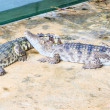 Two crocodiles — Stock Photo #33133091