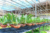 Agriculture orchid farm at thailand — Stock Photo