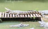 Krokodil-Mund — Stockfoto